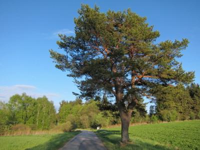 Rozsochatá borovice v odpoledním slunci za Blatem