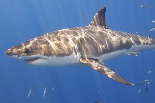 sex mezi zvířaty-žraloci