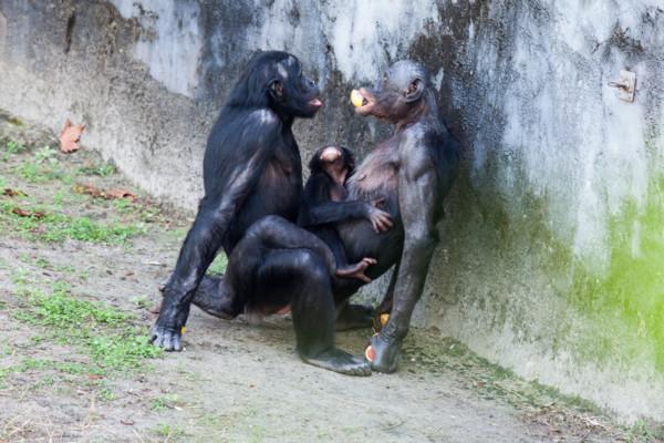 sex mezi zvířaty-bonobové sploshing